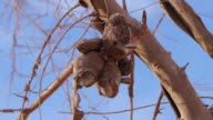 CU Dusty teddy bear hanging from tree branch and blowing in wind / San Pedro de Valdivia, Atacama desert, Chile