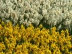 Dutch daffodil (Narcissus sp.) waving in breeze, Keukenhof, Central Holland