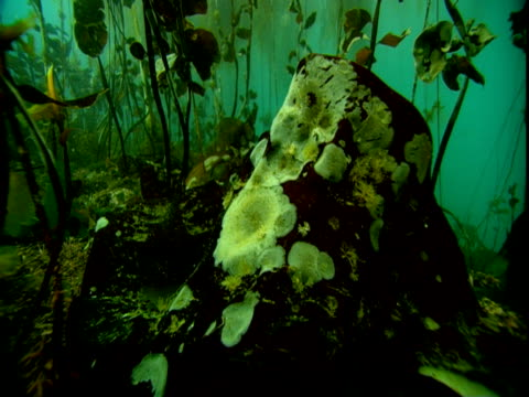 A dying kelp frond sways with the ocean current in a seaweed forest.