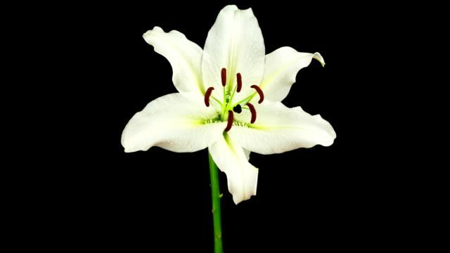 Besonderes weiße Lilie-Zeitraffer