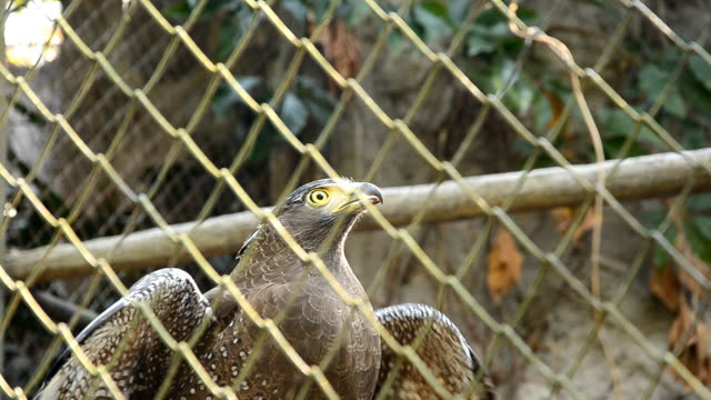 Eagle in Cage