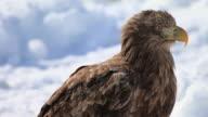 CU Eagle sitting on drift ice at Sea of Okhotsk / Rausu, Japan