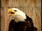 CU Eagle squawking