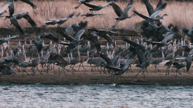 Early morning - large group of Sandhill Cranes take off from a sandbar in the Platte River to continue their northern migration.