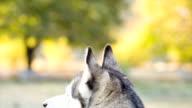 husky orecchie di primo piano. Vista posteriore del cane.