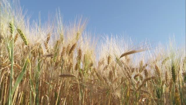 CU Ears of rye swaying on breeze against blue sky, Perwez, Namur, Belgium