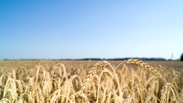 Ears of wheat ripens in field.