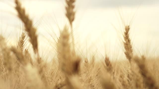 Ears of Wheat swaying on wind