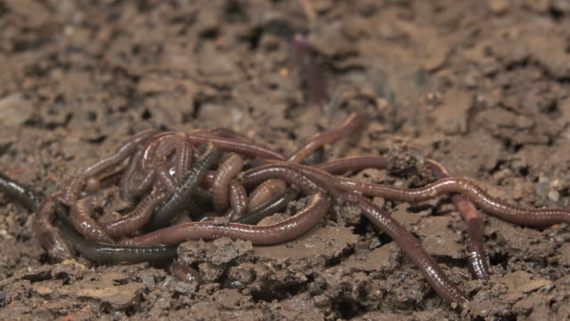 Earthworm crawling on the dirt