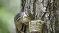 Eastern chipmunk eating