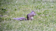 Eastern gray squirrel eating in park during Spring