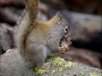 Eastern grey squirrel feeds on pine cone, Montana, USA