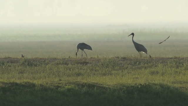 Eastern Sarus Crane (Grus antigone)
