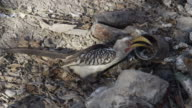 Eastern yellow billed hornbill (Tockus flavirostris) feeds on bread at campsite then leaves.