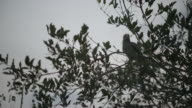 Eastern yellow billed hornbill (Tockus flavirostris) in tree, calls then takes off.