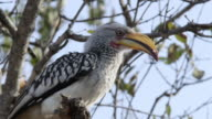 Eastern Yellow billed hornbill looks around in tree then drops out of shot.