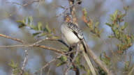 Eastern Yellow billed hornbill looks around in tree.