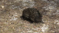 Echidna or spiny anteater.