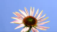 Echinacea flower, timelapse