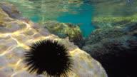 Echinus (Sea Urchin)
