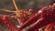 Ecology Of Crayfish, Procambarus (Scapulicambarus) clarkii
