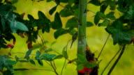 Ecuadorian Hummingbird Flies between branches on a Rainy Afternoon.