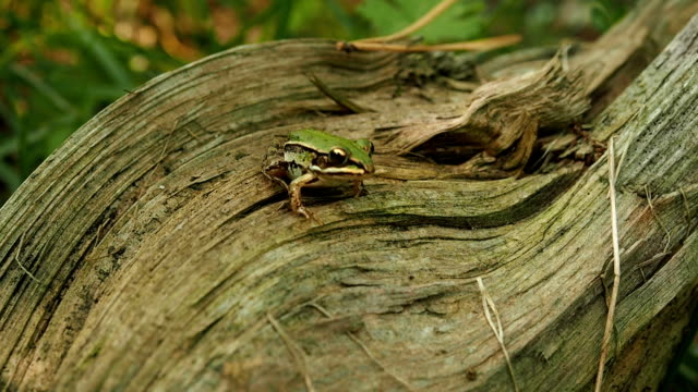 Edible frog sitting on the tree trunk