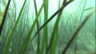 Eelgrass grows in Tokyo Bay.