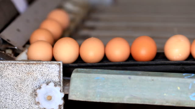 Egg production line