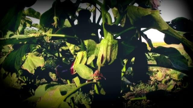 Eggplant and nature