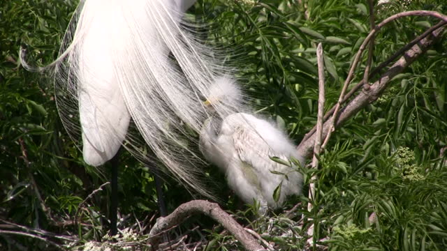 Egret Chick and Plumes, Closeup