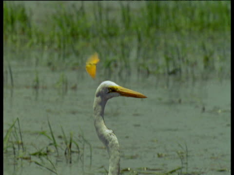 Egret is pestered by irritating butterfly