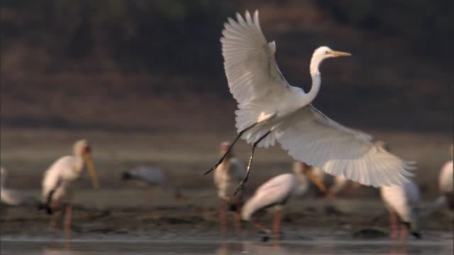 Egret (Egretta sp.) lands in river, Luangwa, Zambia