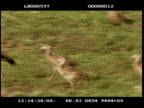 MS Egyptian goose (Alopochen aegypticus) & 4 goslings walking right to left through frame, Camera tracks left