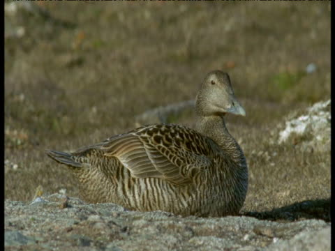 Eider duck on nest, Svalbard