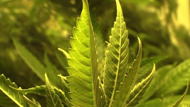 El Congreso de Peru aprobo con amplia mayoria el uso de la marihuana con fines medicinales luego de la peticion de varias organizaciones civiles que...