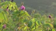 El fino aroma del aceite de rosa de Bulgaria el mayor productor mundial requiere que miles de flores sean cosechadas antes del amanecer cuando mas...