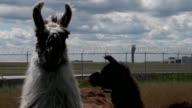 El muy concurrido aeropuerto OHare de Chicago adquirio un nuevo equipo para mantener el cesped podado una manada de cabras ovejas burros y llamas...