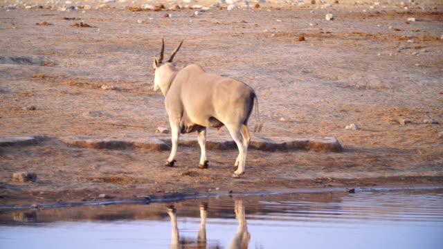 MS PAN Eland drinking water in savannah / Namibia