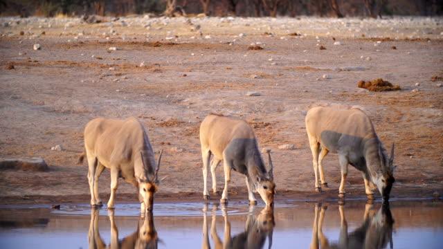MS Eland drinking water in savannah / Namibia