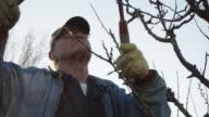Elderly White Farmer Man Prunes Fruit Trees