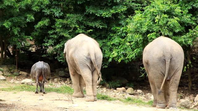 Elephant and buffalo eating grass.