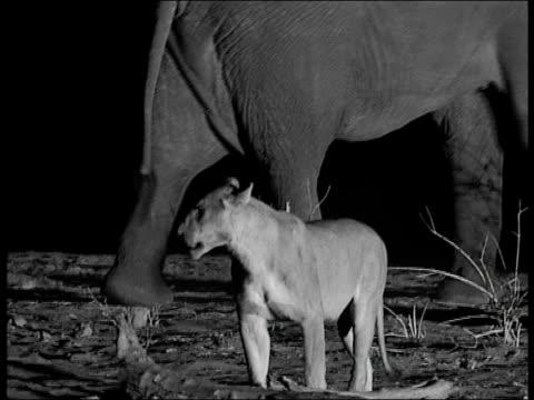 Elephant and lion at night, Botswana