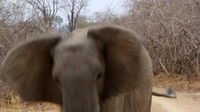 MS Elephant attempting attack / Lukuzi, Eastern, Zambia
