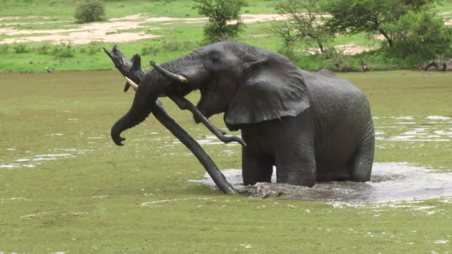 MS Elephant bull picking up log with tusks in dam / Kruger National Park, Mpumalanga, South Africa