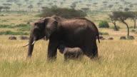 Elephant calf nursing, Masai Mara, Kenya