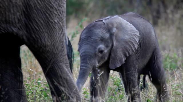 Elephant calf walking behind mother/ Kruger National Park/ South Africa