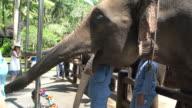Elephant Caretaker Taking Care Of The Rescued Sumatran Elephant In Bali, Indonesia