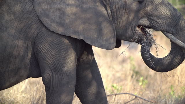 MS SLO MO Elephant chewing on acacia thorns in dappled light / Kruger National Park, Mpumalanga, South Africa