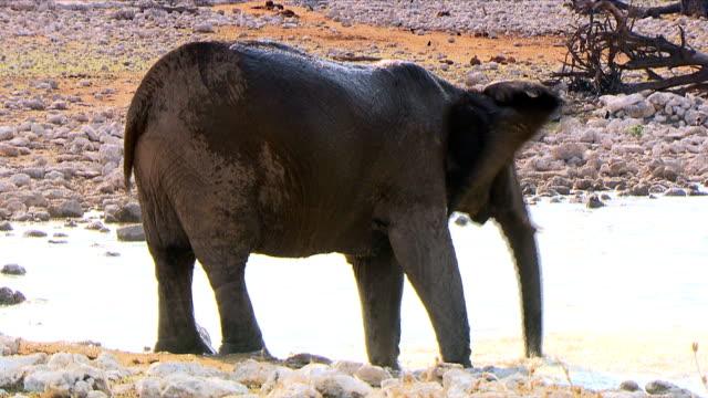 Elephant drinking water/ Etosha National Park/ South Africa